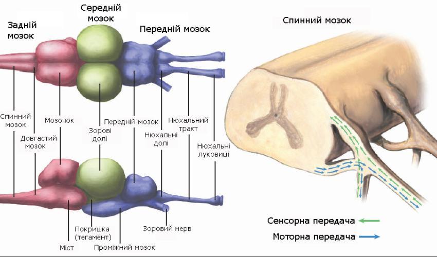 Центральна нервова система риб