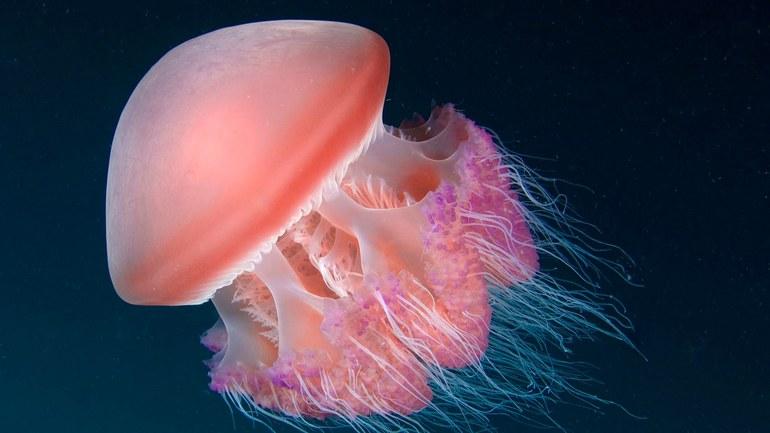 Цікаві факти про медуз