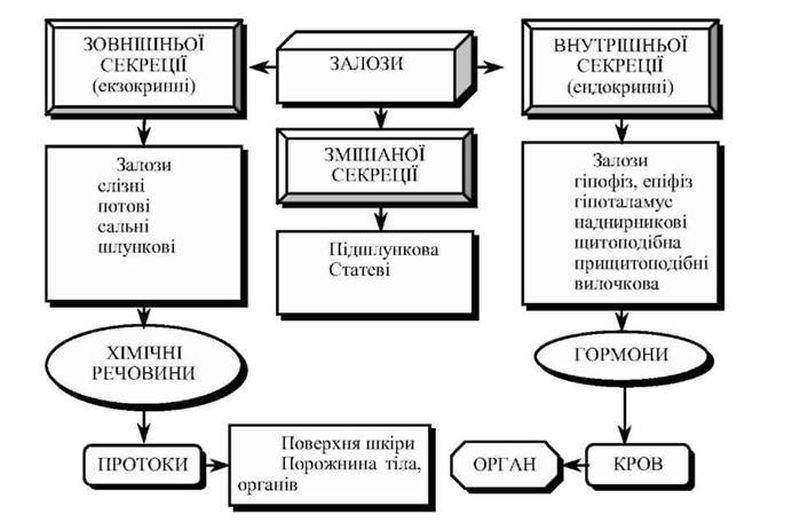 Таблиця залоз людини