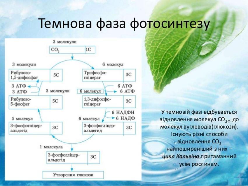 Темнова фаза фотосинтезу
