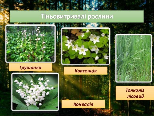 Тіньовитривалі рослини