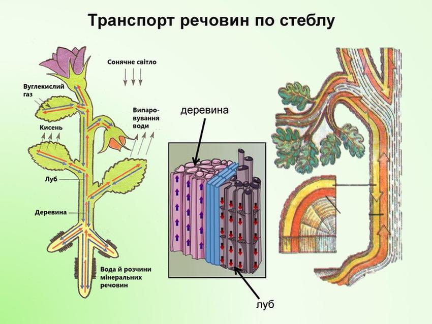 Транспорт речовин по стеблу