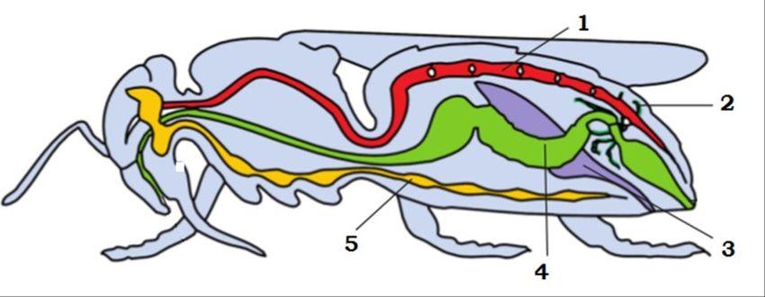 Травна система членистоногих