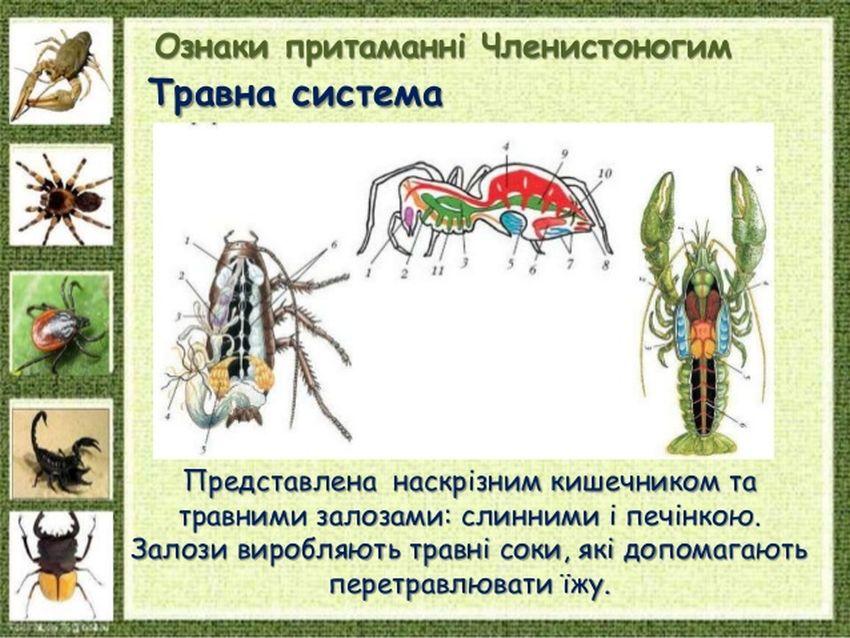 Травна система членистоногих2