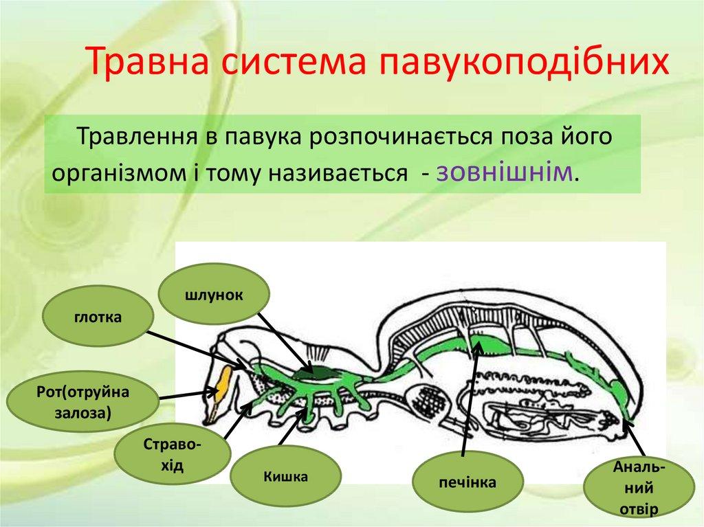 Травна система павукоподібних