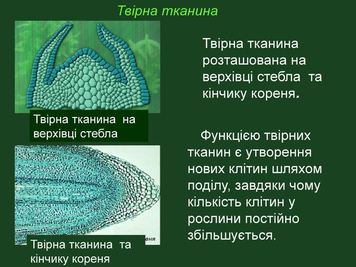 Твірна тканина рослини