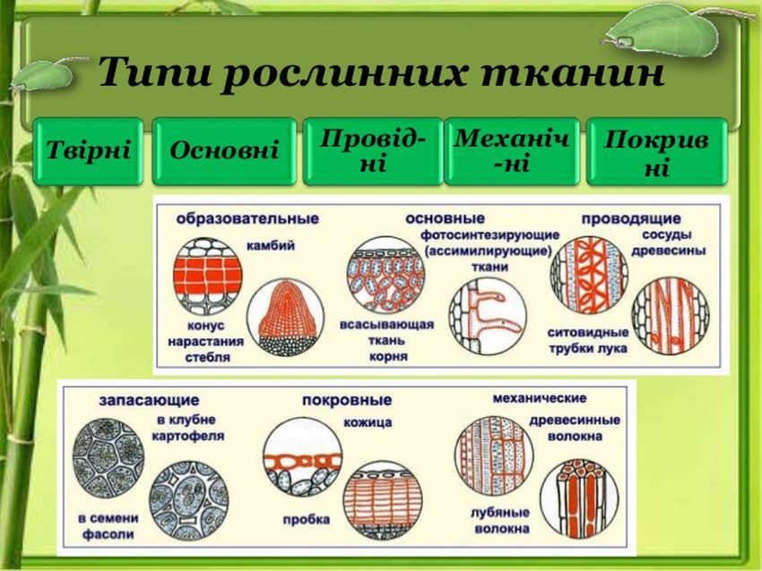 Типи рослинних тканин