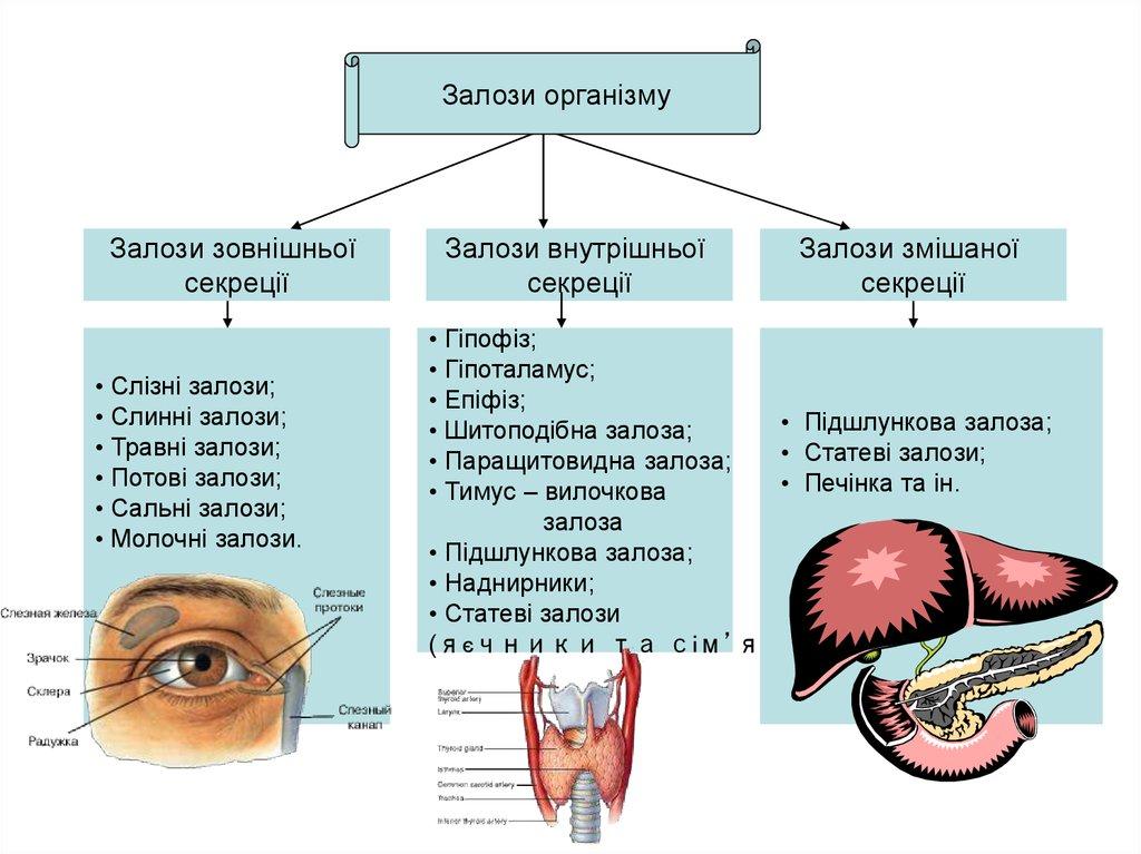 Типи залоз організму людини
