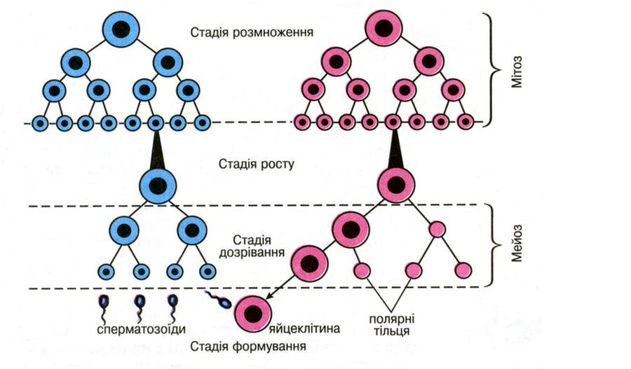 Утворення статевих гамет