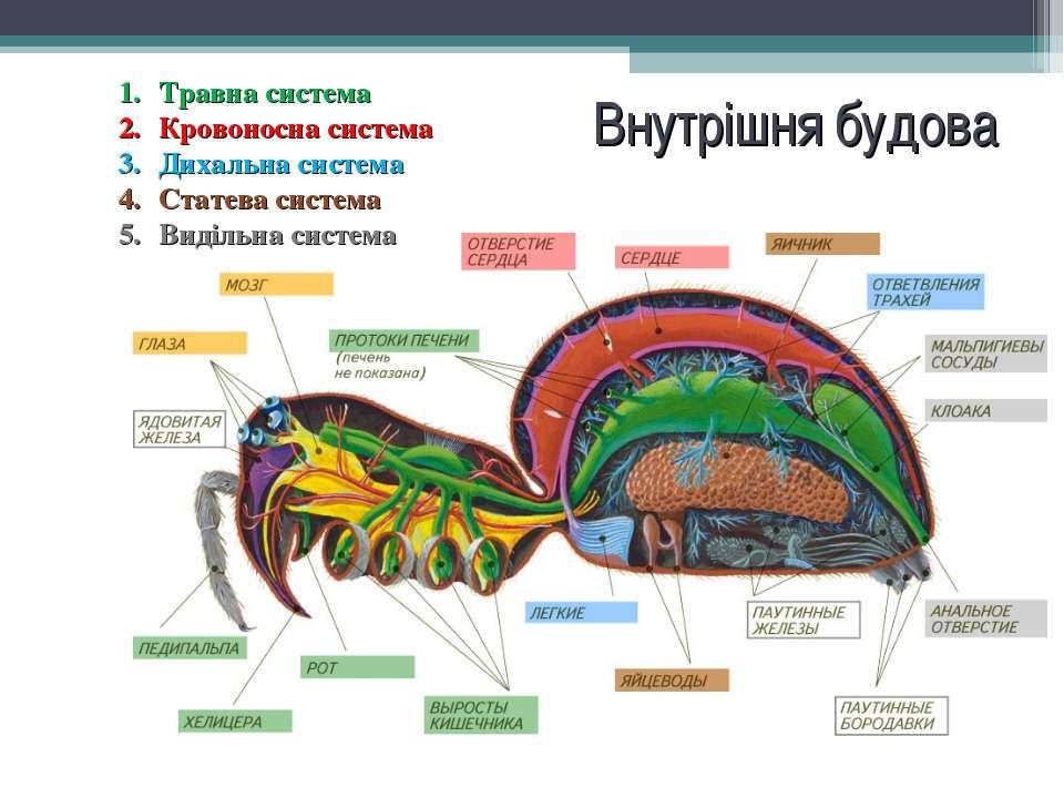 Внутрішня будова павука
