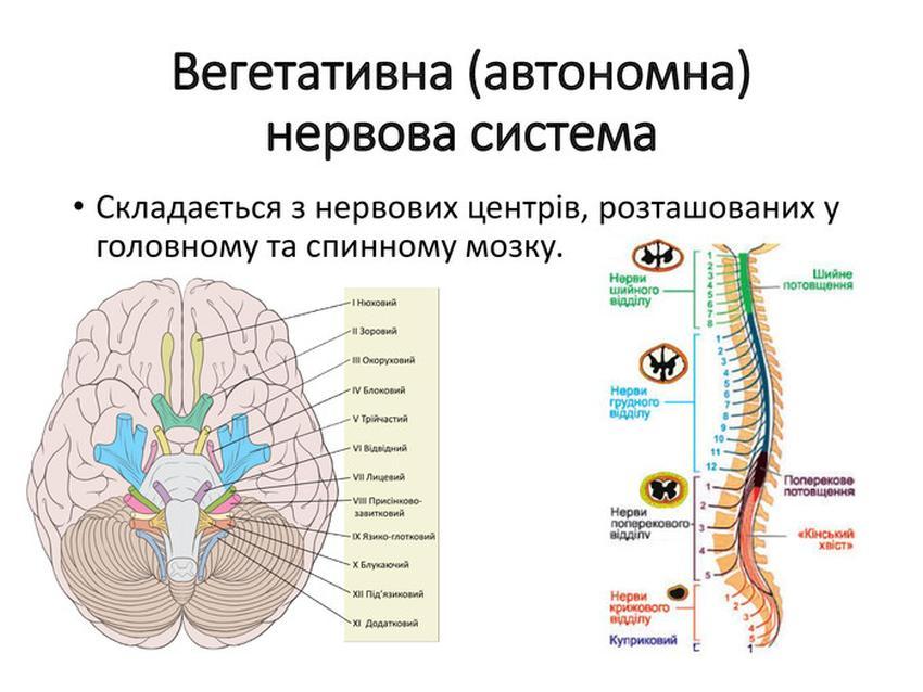 Вегетативна (автономна) нервова система