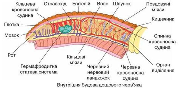 Внутрішня будова дощового черв'яка
