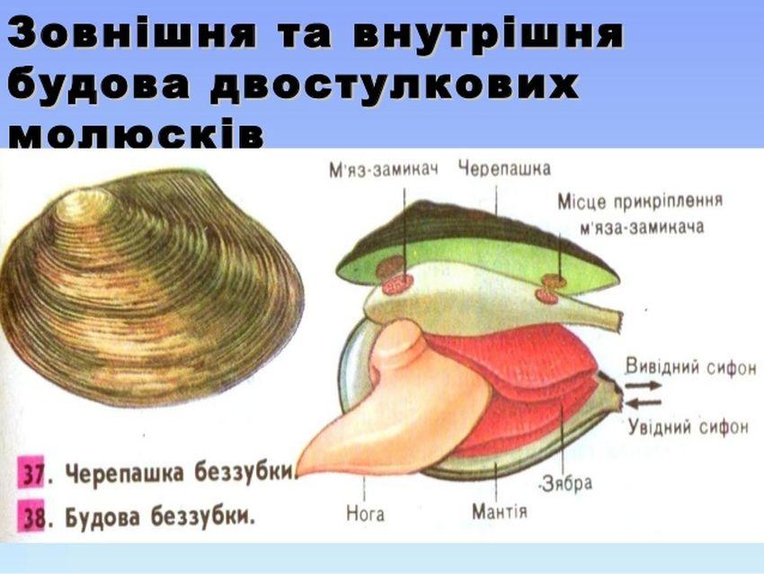 Внутрішня будова двостулкових молюсків