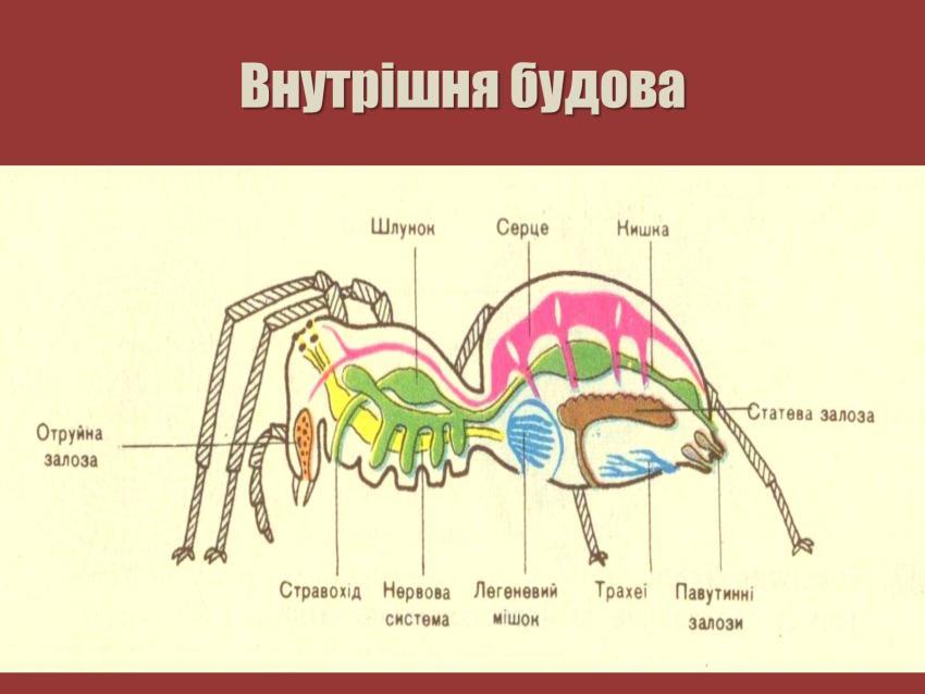 Внутрішня будова павука-хрестовика
