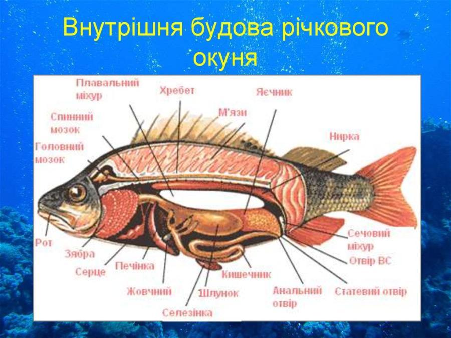 Внутрішня будова риби
