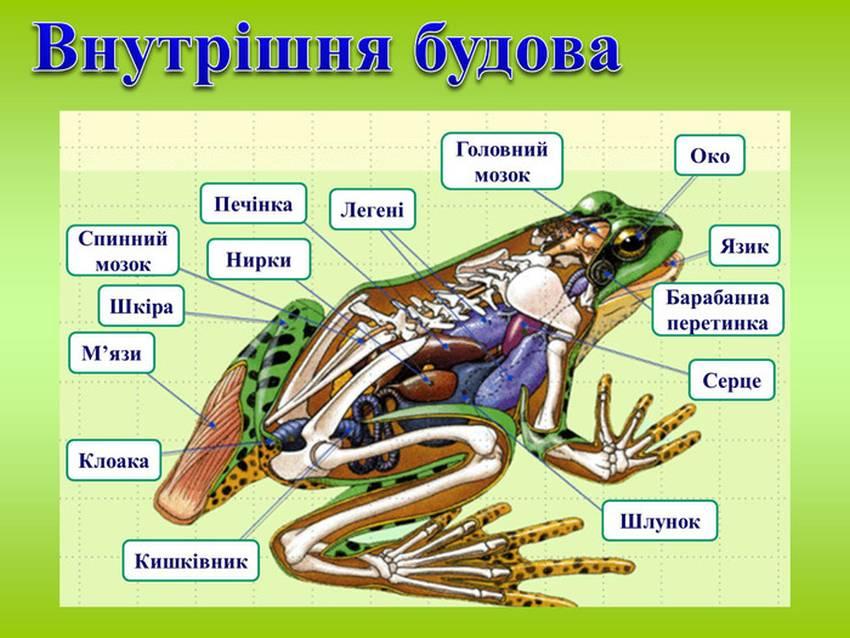 Внутрішня будова жаби
