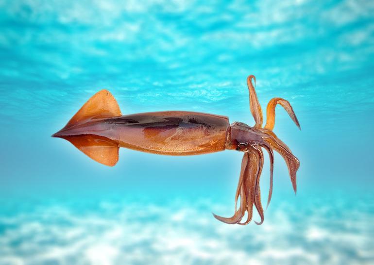 Види кальмарів