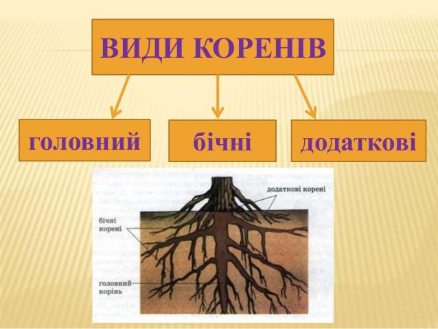 Види коренів