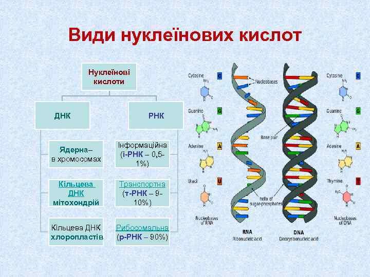 Види нуклеїнових кислот