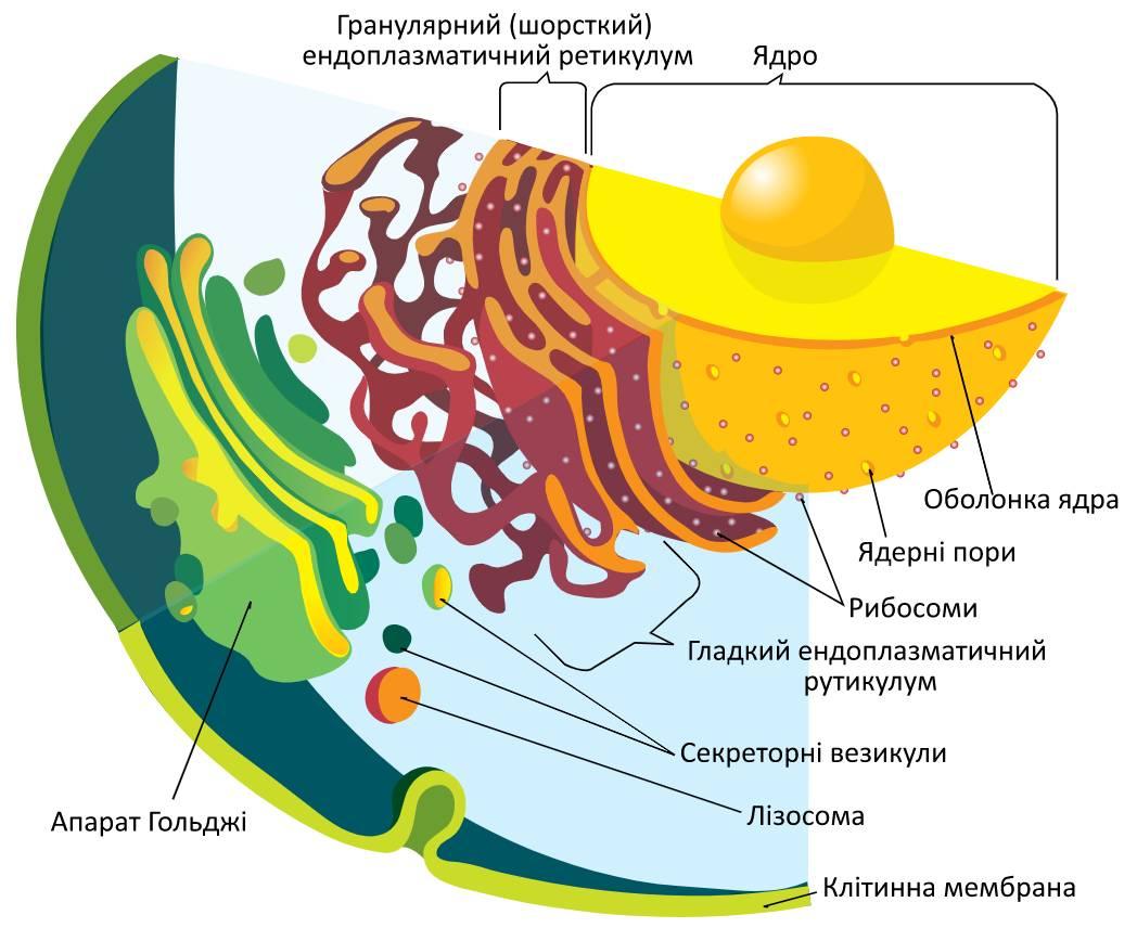 Ядро та ендомембранна система
