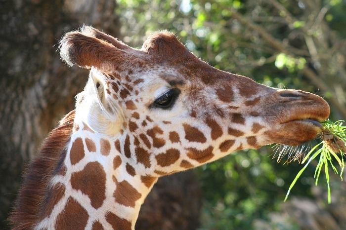 Жираф2