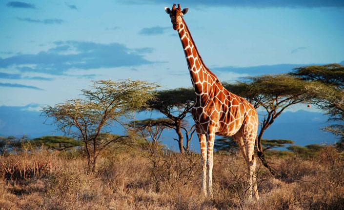 Жираф3