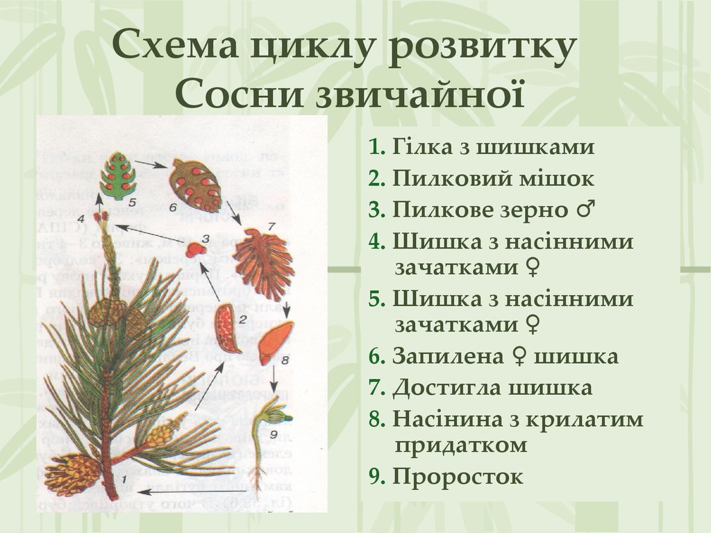 Життєвий цикл голонасінних рослин - схема