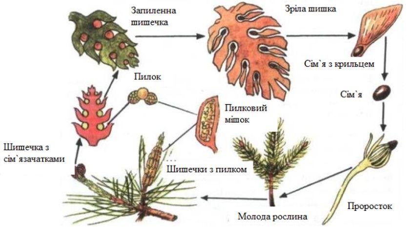 Життєвий цикл голонасінних рослин - схема2