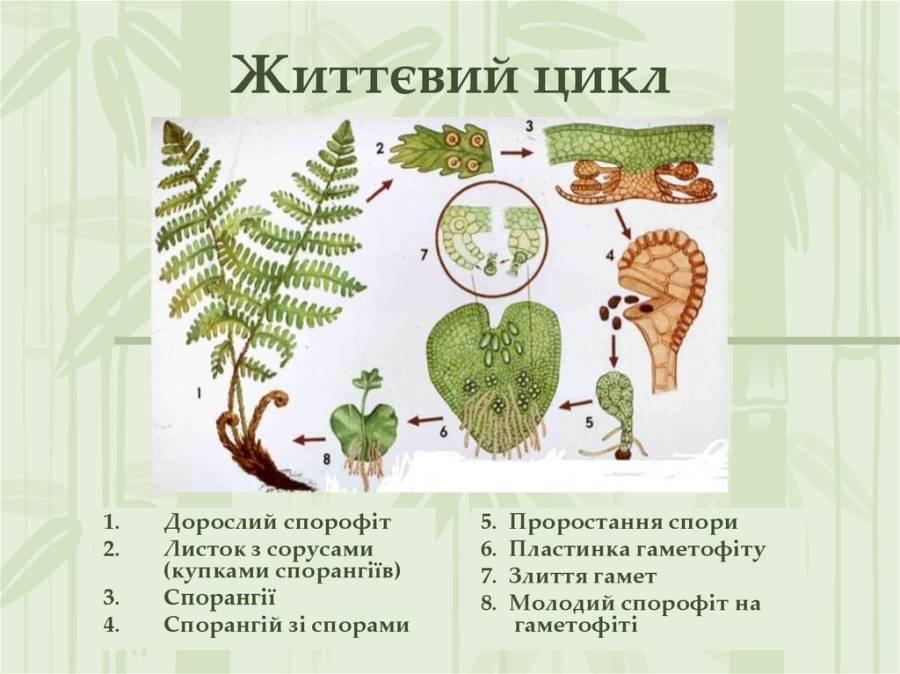 Життєвий цикл папоротей