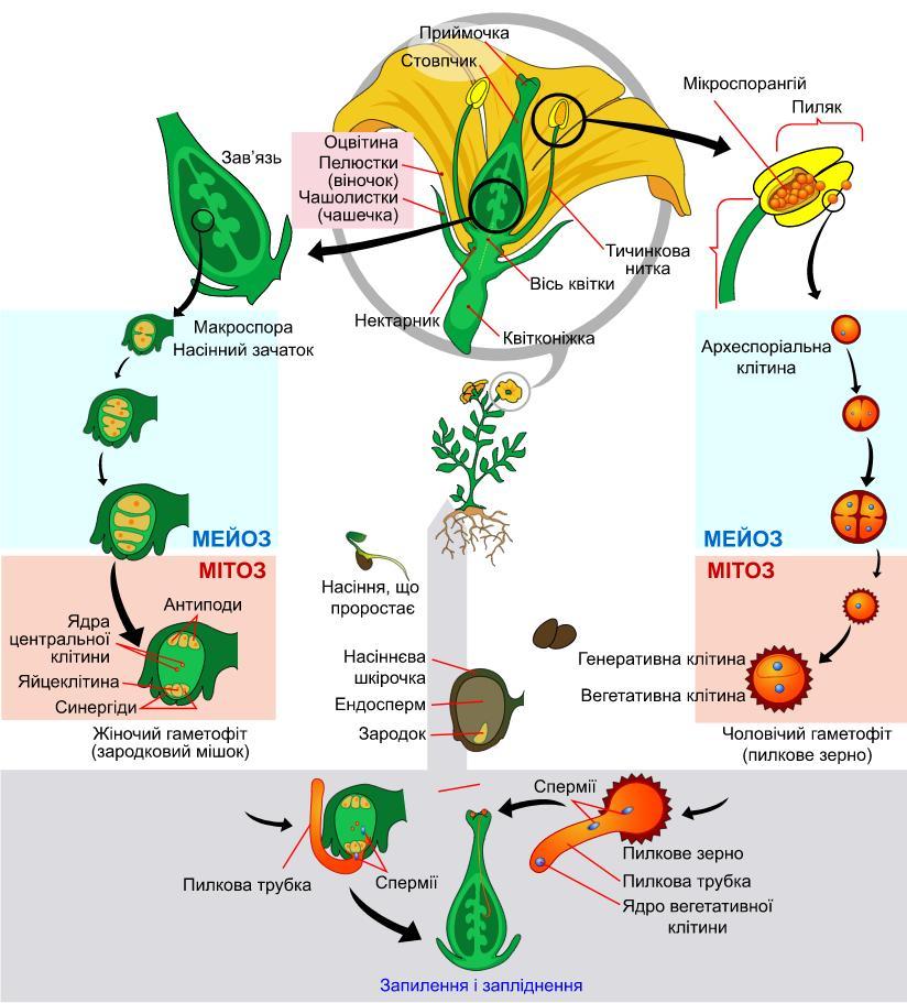 Життєвий цикл покритонасінної квітки