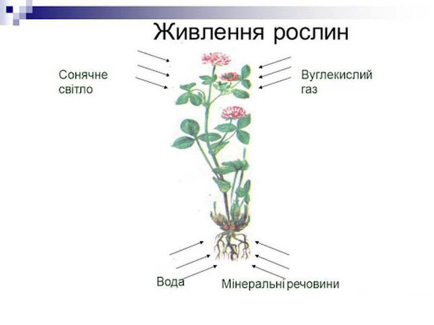 Живлення рослини2