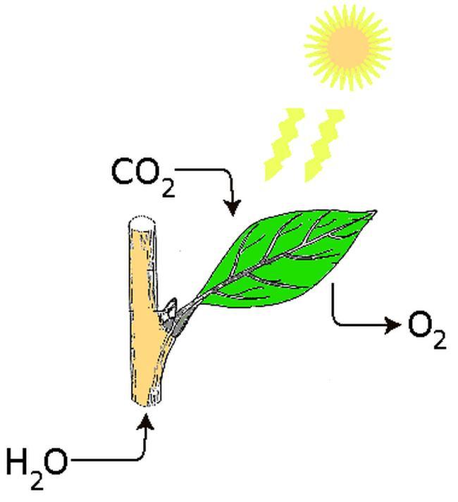 Загальна схема фотосинтезу