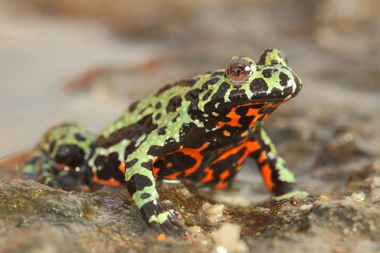 Земноводні - жаба