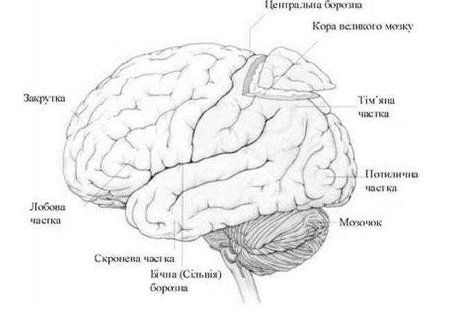 Зони кори великого мозку