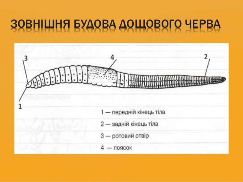 Зовнішня будова дощового черв'яка