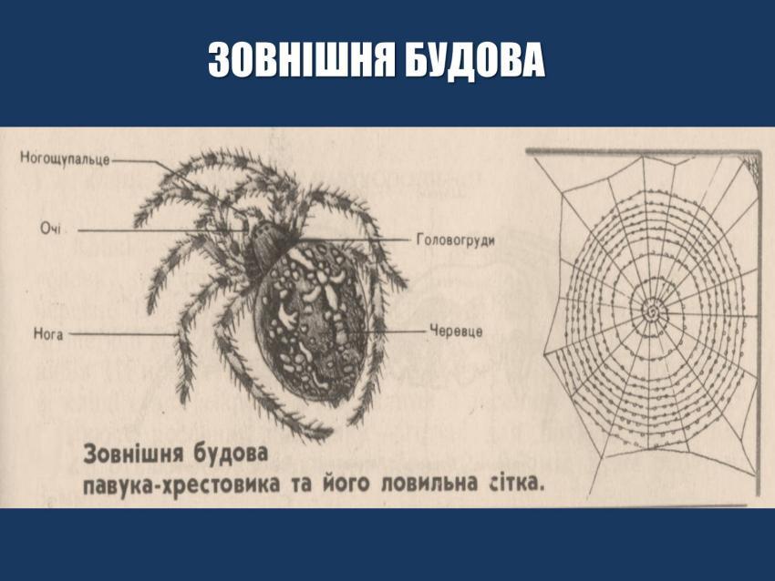 Зовнішня будова павука-хрестовика