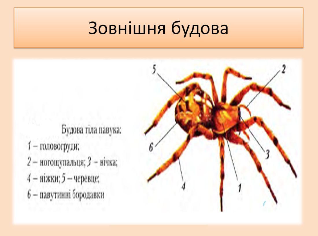 Зовнішня будова павука