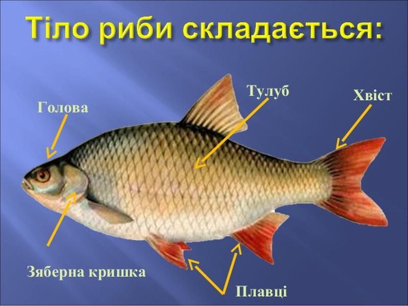 Зовнішня будова риби