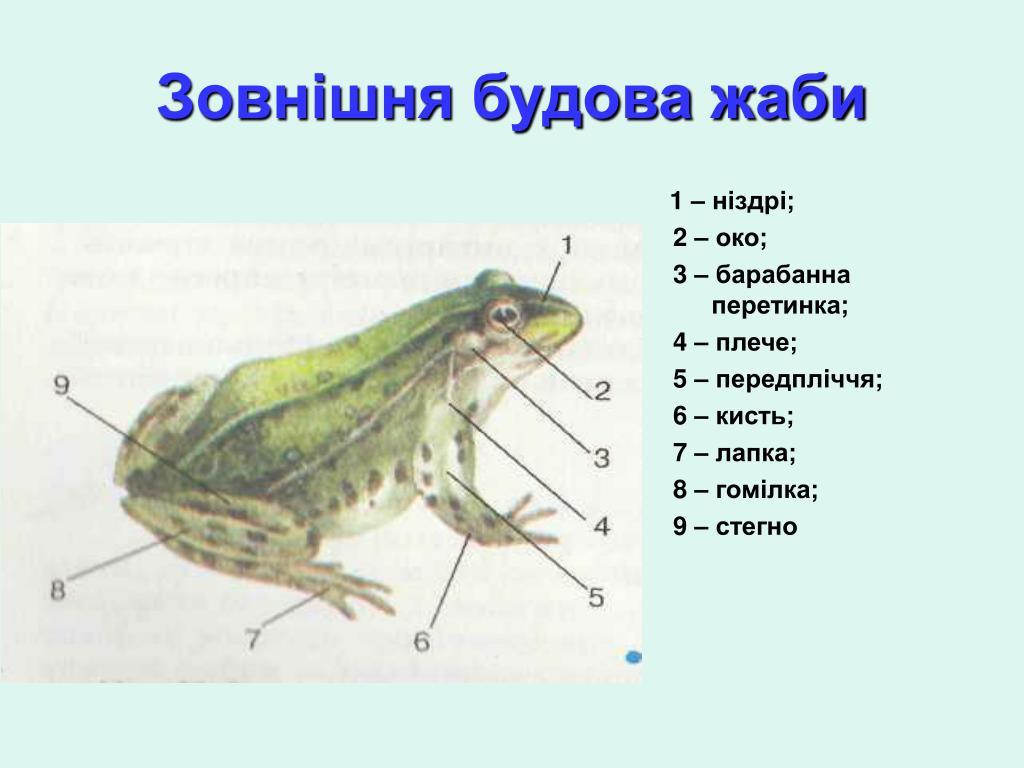 Зовнішня будова жаби