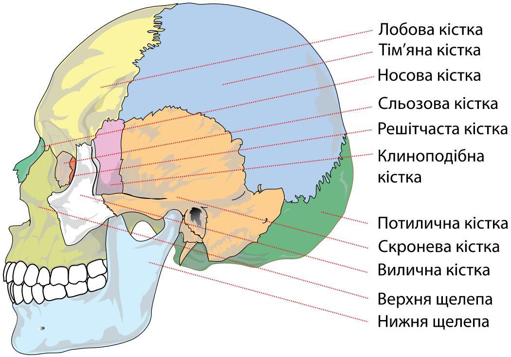Будова черепа збоку