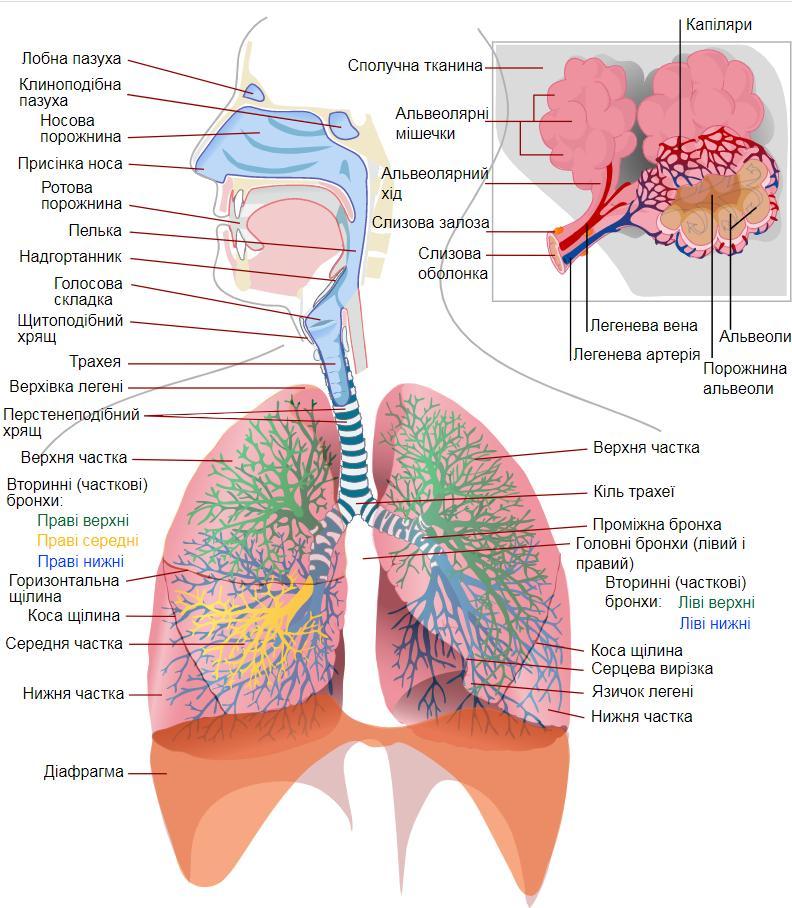 Будова дихальної системи людини і легень