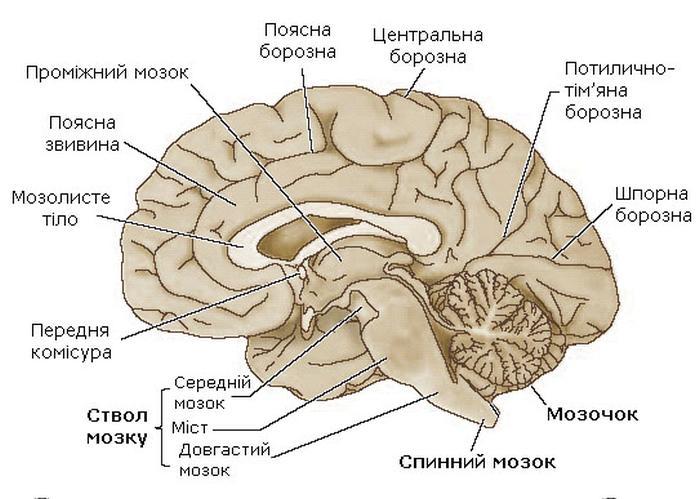 Будова головного мозку людини