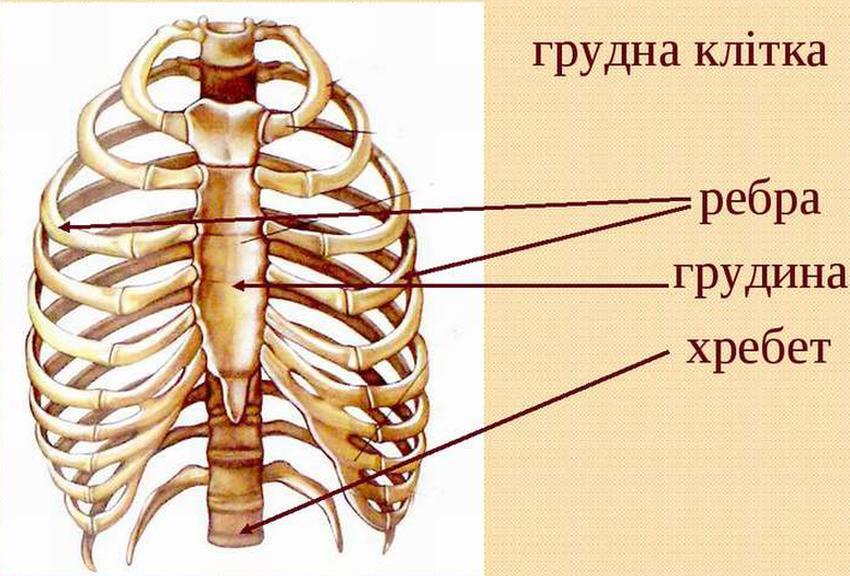 Будова грудної клітки людини
