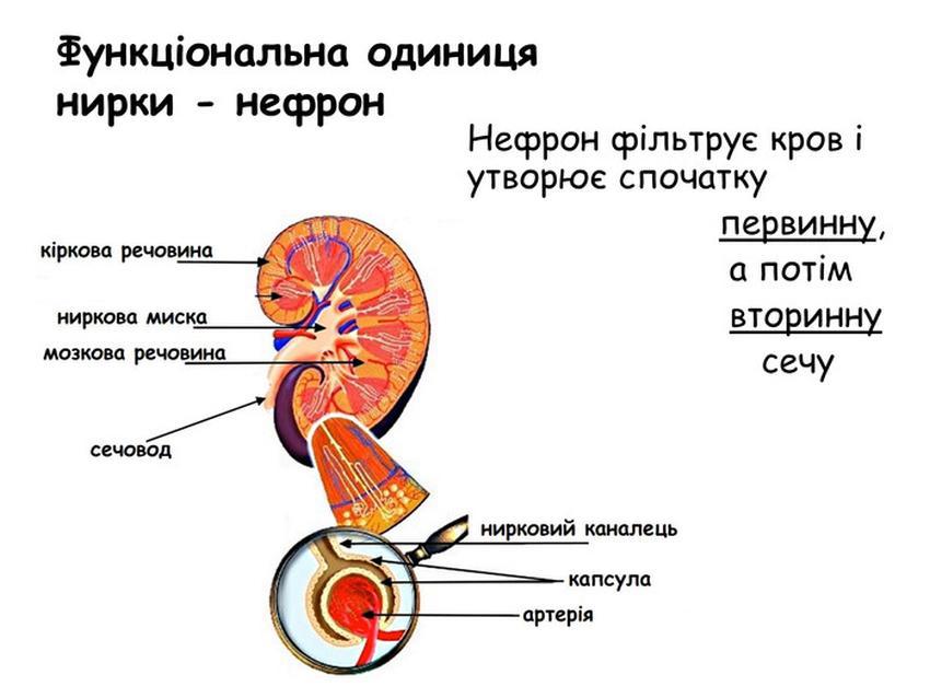 Будова і функції нефрона