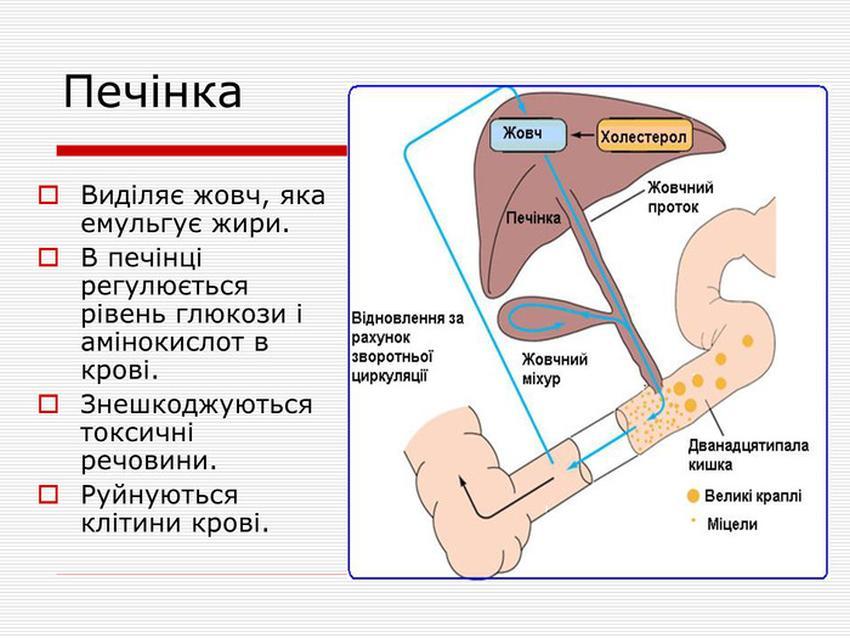 Будова і функції печінки