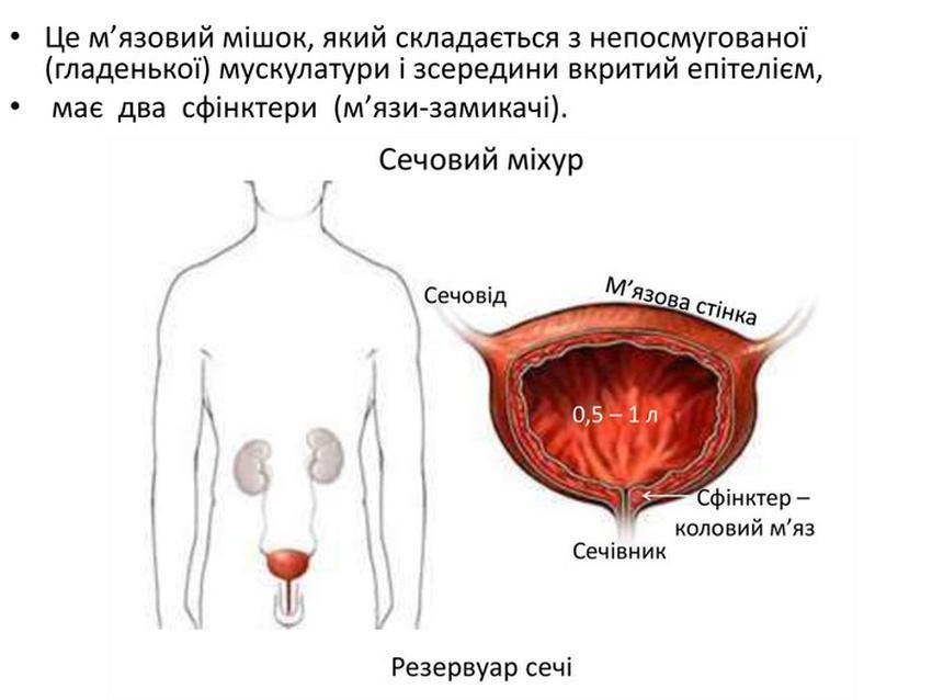 Будова і функції сечового міхура