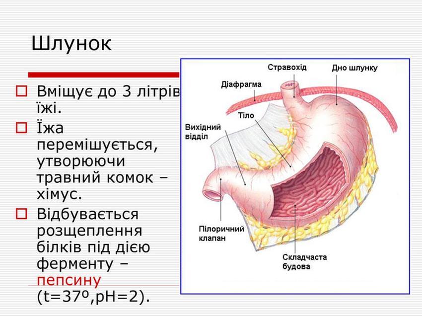 Будова і особливості шлунку