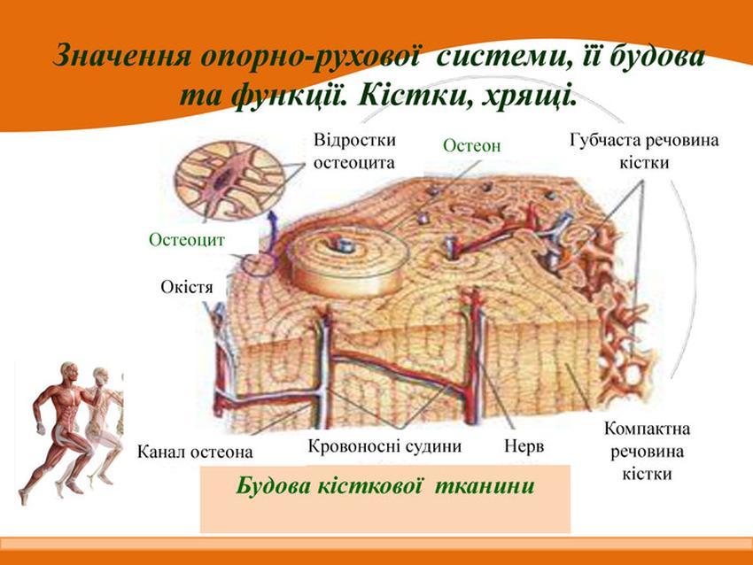 Будова кісткової тканини