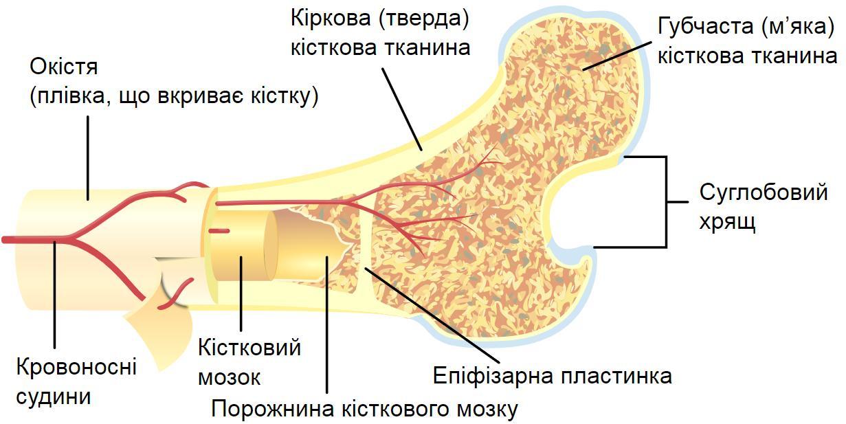 Будова кістки