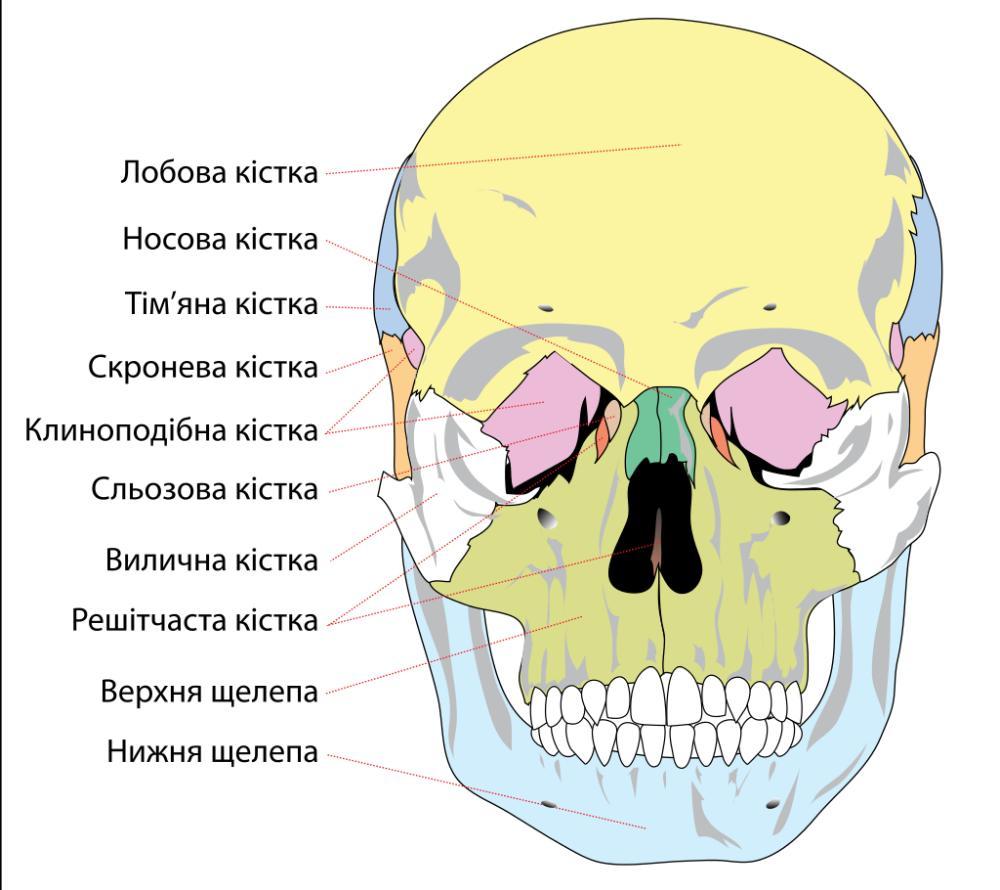 Будова лицевого черепа
